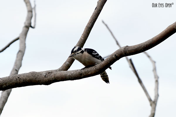 Female Downy Woodpecker perched on a branch above the feeders preparing to debark upon the food.
