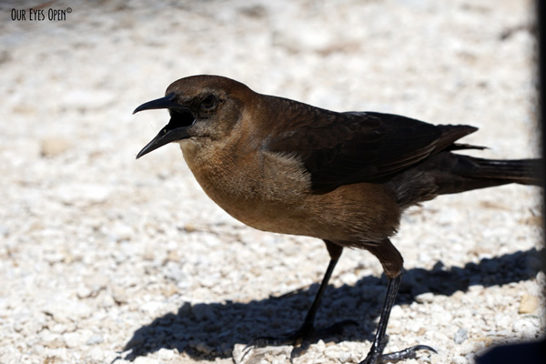 Female Common Grackle was screaming at me to share my lunch.  Didn't happen!