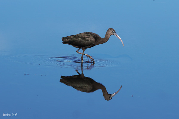 Glossy Ibis foraging for some minnows and Merritt Island Wildlife Refuge.