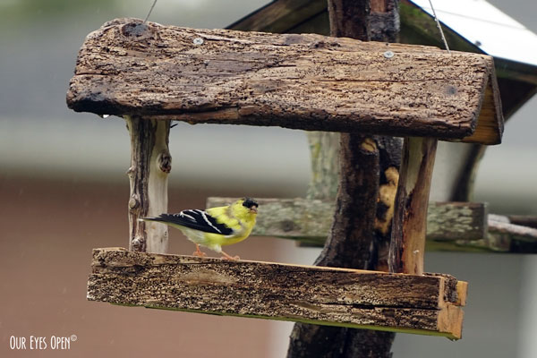 Male Goldfinch getting some chow at one of the new driftwood feeders that we built.