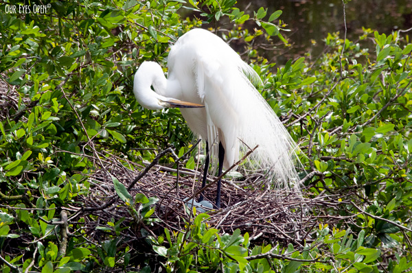 Great Egret with greenish blue eggs in the nest at the Alligator Farm in St. Augustine, Florida.