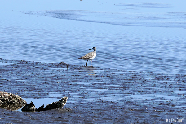 Greater Yellowlegs foraging in the mudflats at St. Marks Wildlife Refuge.