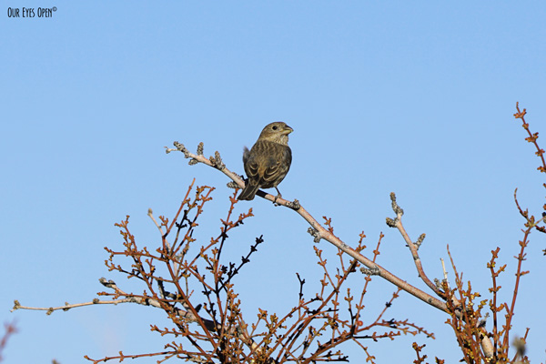 Female House Finch perched up on some bushes at Floyd Lamb Park near Las Vegas, Nevada.