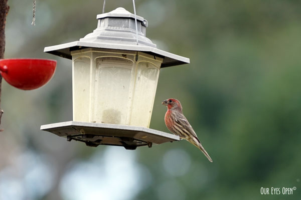 Male House Finch perched on the feeder.
