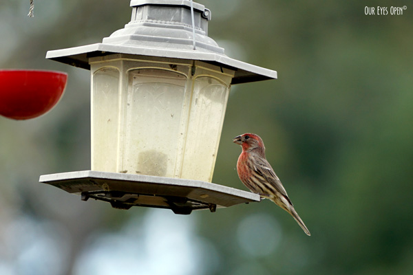 Male House finch on our feeders this past winter.