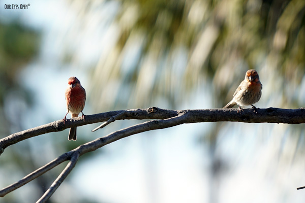 Two male House Finches.  One on the left has the dark red breast and head.  The one on the right is a variant and has orange & yellow plumage on the breast and head.