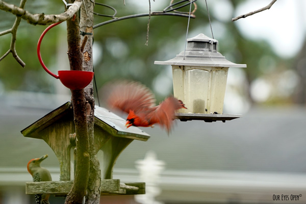 Northern Cardinal takes off with a peanut in his beak.