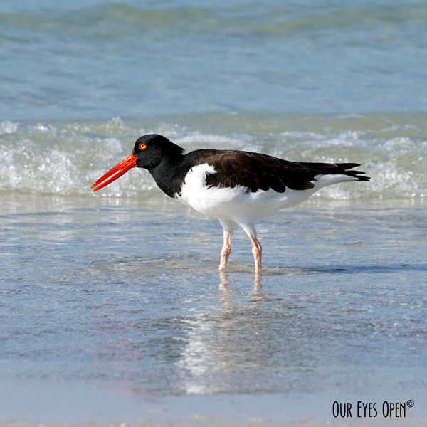 American Oystercatcher feeding for shellfish at the beach shore at Fort Desoto Park in Pinellas County, Florida near St. Petersburg.  The water was crystal clear that day.