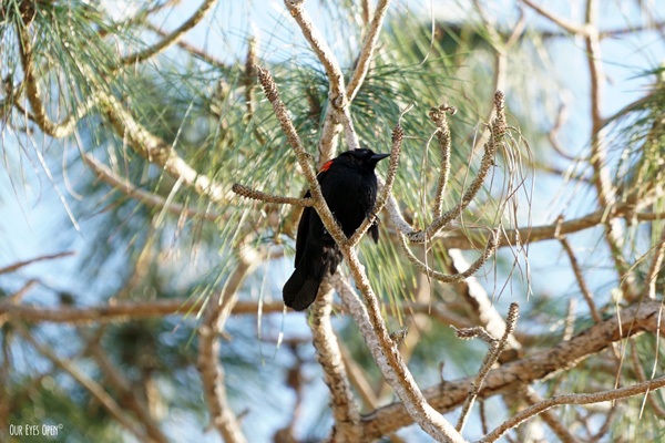 Red-winged Blackbird captured high in a pine tree along the back trail at St. Marks Wildlife Refuge.