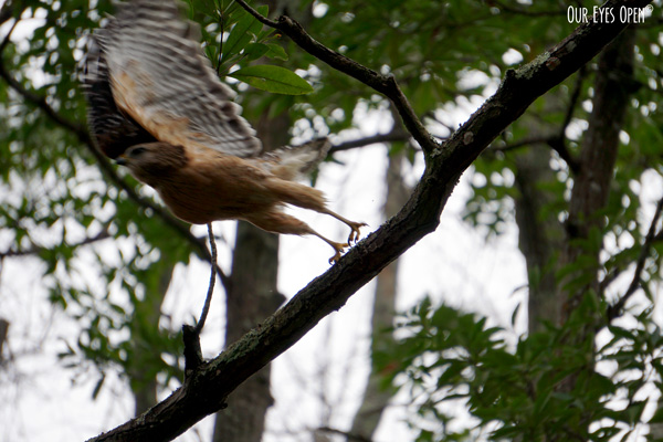 Red-shouldered Hawk got spooked and took off from his perch on a branch.