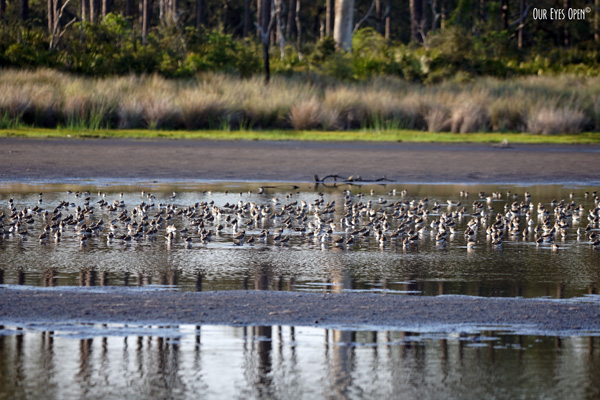 Over a thousand shorebirds were seen in one of the back ponds behind the tower at St. Marks Wildlife Refuge.