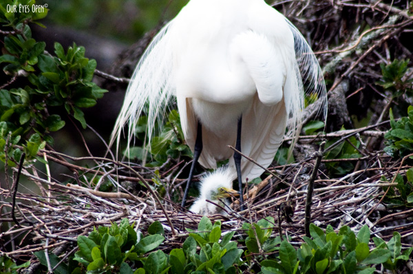 Great Egret with baby chick in the nest at the Alligator Farm in St. Augustine, Florida.