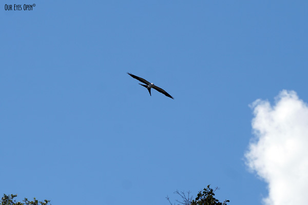 Swallow-tailed Kite flying high overhead looking for baby birds to eat for their next meal.