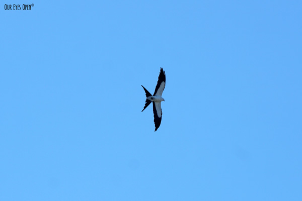 Swallow-tailed Kite flying high overhead looking for baby birds to prey on.