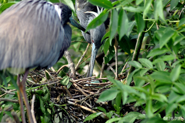 Tricolored Heron parents with greenish blue eggs in the nest at the Alligator Farm in St. Augustine, Florida.