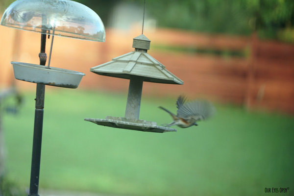 Tufted Titmouse taking off in flight from one of our feeders.