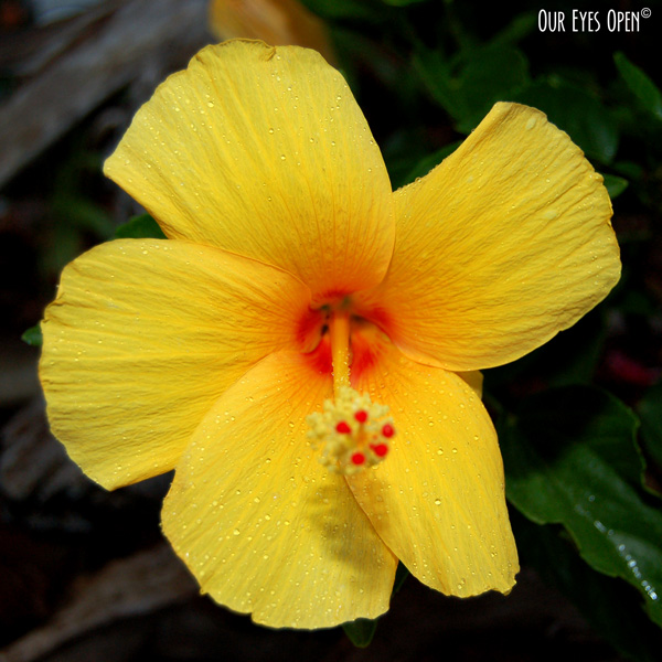 Bright yellow Hibiscus flower with sprinkles of dew drops.