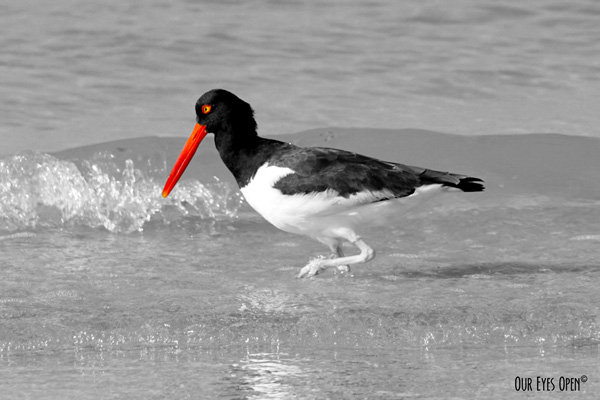 I selected the reddish-orange bill and eye for the selective color on this American Oystercatcher that is otherwise black and white.