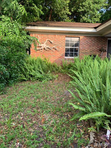 View of my backyard where a Sago Palm was taken out near the detached garage. Last photo from my IPhone. The area is still surrounded by a lot of green ferns.