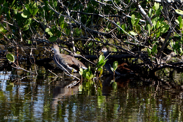 Two juvenile Common Gallinules are hiding the Mangroves at Merritt Island Wildlife Refuge in Titusville, Florida.