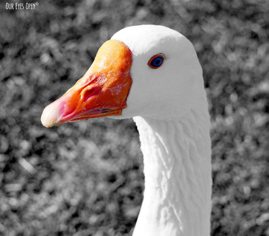 Blue-eyed domestic goose seen at Floyd Lambs Park near Las Vegas, Nevada.