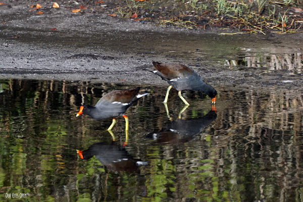 Adult Common Gallinules with the brown and black bodies and red/yellow beaks and legs are feeding in the mudflats in Florida.