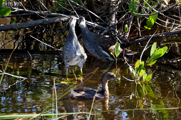 Two Juvenile Common Gallinules are caught looking at a Pied-billed grebe swimming by.