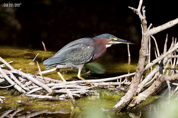 Green Heron stalking its prey in the mangroves at Merritt Island Wildlife Refuge.