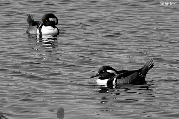 Two male Hooded Mergansers swimming along.  Their yellow eyes stand out from a crowd.