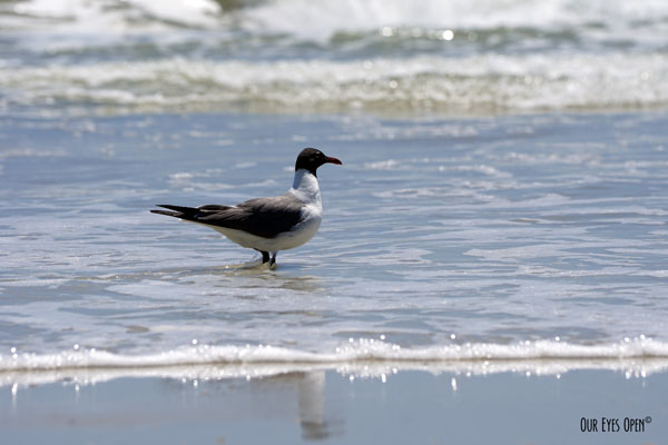 Laughing Gull wading in the surf at Little Talbot Island State Park.