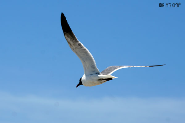 Laughing Gull flying over the sandy beach of Little Talbot Island State Park.