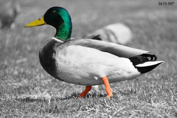 Mallard with his green head, yellow bill and orange legs walking around in the grass.