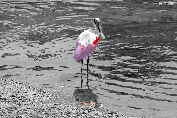 The Roseate Spoonbill has pink feathers that stand out against their white feathers.