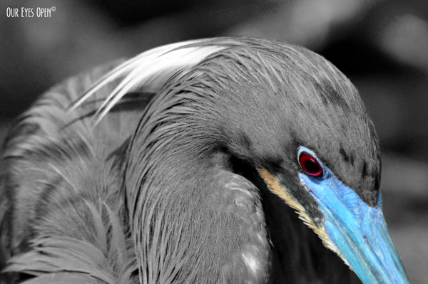 Tri-colored Heron with the bright blue bill and red eye in selective color.  These are breeding colors for this bird.