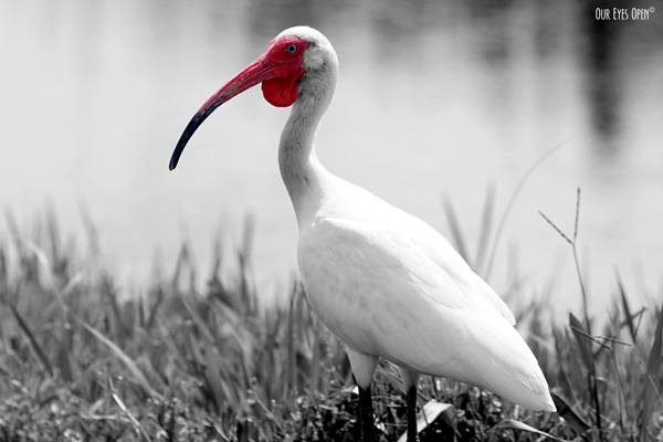 The White Ibis has a downward curved bill.  The bill and face is reddish orange and this one was brighter because it was in breeding plumage.