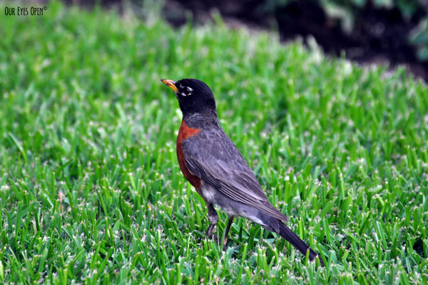 American Robin foraging in the green grass at Parkland Hospital in Dallas, Texas.