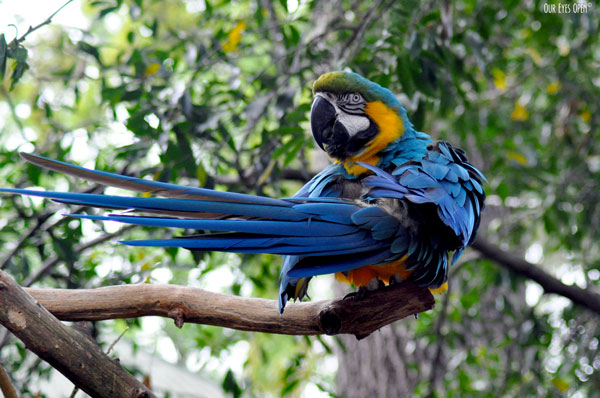 Blue-and yellow Macaw preening on a branch at the Alligator Farm in St. Augustine, Florida.