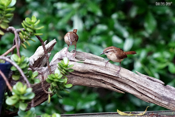 Two curious juvenile Carolina Wrens perched on driftwood.  They have a buffed colored breast, brown head, back and tail feathers.  A white stripe over the eye.
