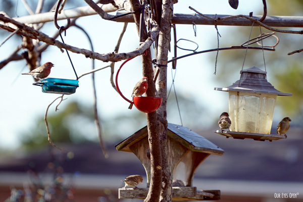 Three House Finches and two Goldfinches get their fill of nutrition at our feeders during migration before their long journey north.