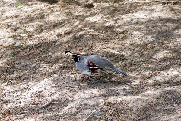 Gambel's Quail foraging on the ground in Las Vegas.