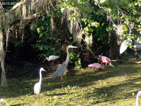 Several wading birds in this frame.  Great Blue Heron, White Ibis, Snowy Egret, Roseate Spoonbills and Woodstork.