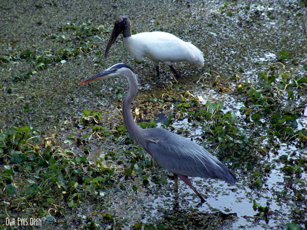 Great Blue Heron and Woodstork looking for food at Lettuce Lake Park in Tampa, Florida.