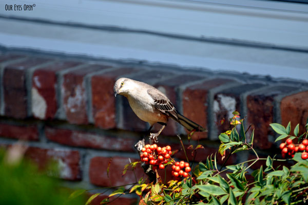 Mockingbird perched on a berry bush along the walkway to my house.