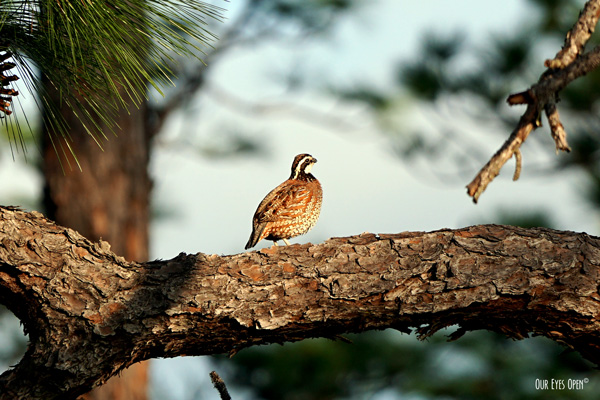 Northern Bobwhite perched in a large pine tree in Georgia has beautiful spots all over and a distinctive white stripe across the eye on the head.