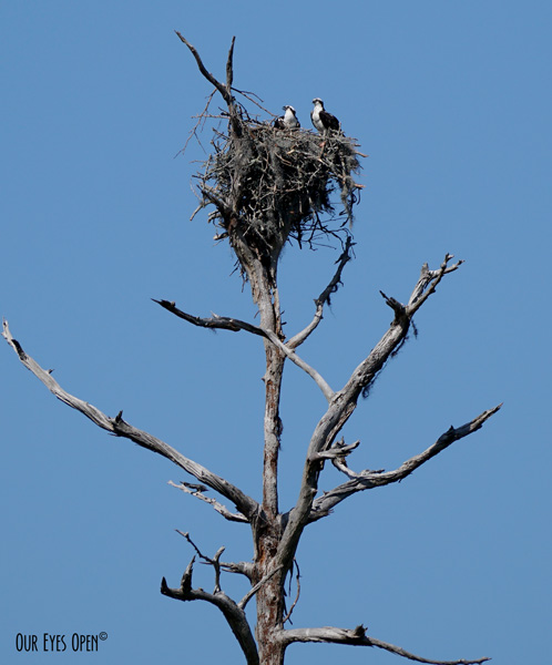 A mated pair of Osprey high in a Cypress Tree with a next built on top.