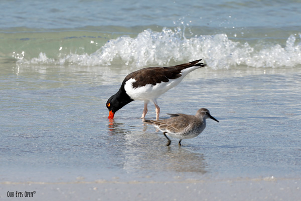 American Oystercatcher feeding in the surf with a Willet walking by on the beach at Ft. Desoto Park in Tierra Verde, Florida.
