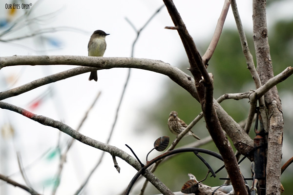 Eastern Phoebe posed up on a branch of our feeder system while an uncommon female Purple Finch is perched on a lower branch to the right.