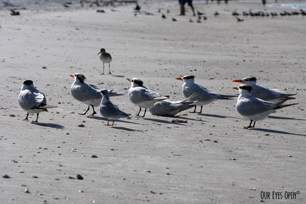 Royal Terns looking up with and a Willet  in the background on the beach at Ft. Desoto Park in Tierra Verde, Florida.