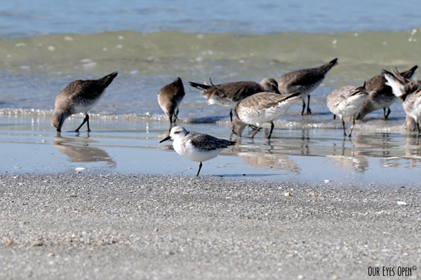 A Sanderling poses for this picture with Willets eating in the background on the beach at Ft. Desoto Park in Tierra Verde, Florida.