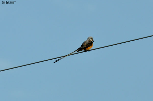 Scissor-tailed Flycatcher perched on a wire in Justin, Texas.  Their forked tail is longer than their head and body.